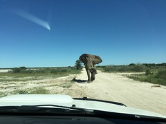 Wild Bull Elephant (zenseas : )) Tags: africanelephant elephant bull wild intheroad driving selfdrive selfdrivesafari safari iphone iphone6plus etosha etoshanationalpark etoshapan namutoni namibia africa holiday vacation charging loxodontaafricana africanbushelephant loxodonta huge crazy