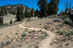 hiking among the ancients (Ben McLeod) Tags: ancientbristleconeforest california nikki sierranevada roadtrip trail