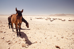 #01 Garub Wild Horses, Namibia (nanonyous) Tags: namibia travel horse horses equine desert desolate survival arid vast landscape garub sand oryx ostrich oryxes ostriches herd foal