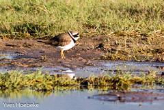 bontbekplevier-1.jpg (yhoebeke) Tags: bontbekplevier ringedplover charadriushiaticula charadriidae