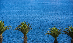 palm trees (Greg Rohan) Tags: pyrmont blueocean saltwalter sea bluewater blue water ocean palmtrees palms greentrees trees d7200 2016 photography