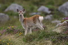 Wicklow Deer And Heather (Chris*Bolton) Tags: deer young fawn nature wildlife glendalough wicklow ireland hills