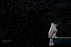 Rainy Titmouse (Hitesh_85) Tags: birds titmiceandchickadees tuftedtitmouse backlit birdfeeder black dark dramatic flash gray perched rain