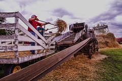 Teamwork (jackalope22) Tags: thresher teamwork hay agriculture flail thresh