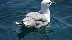 DSC03955 (omirou56) Tags: sonydscwx500 bird sea blue greece hellas outdoor 169ratio
