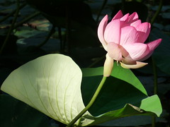 sacred lotus - Nelumbo Nucifera (d0gwalker) Tags: flower pink nelumbonucifera sacredlotus lotus france brittany bretagne