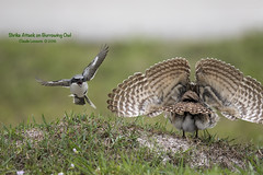 Shrike_Attack_WEB_U6A4107 (beeton_bear) Tags: owl burrowing burrowingowl athenecunicularia beetonbear claudelecours canon fl florida nature wild wildlife shrike attack prey hunt