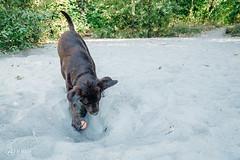 chase-roam-early-morning-mamquam-200816-ajbarlas-1249.jpg (A R D O R) Tags: ajbarlas ardorphotography blacklab chase chocolatelab dogs labrador puppy roam