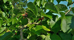"""Mulberries"" (standhisround) Tags: mulberries leaves fruit berries trees tree victorian victorianorchard nature countryside kingsbury london uk fryentcountrypark"