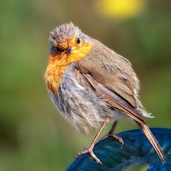 Robin (stevehimages) Tags: steve steveh stevehimages wowzers canon warden higgins grandpas den west midlands 2016