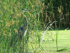 Hidden in plain sight.... (Laura Rowan) Tags: greatblueheron heron grass grasses elmhurst pond latesummer