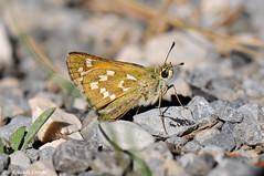 Hesperia comma (Rolando CRINITI) Tags: farfalla farfalle hesperiacomma macro insetti lapaludsurverdon francia natura