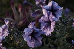 2016_septembre_DSC5770 (brunata61) Tags: paysage levdesoleil brume stouensurmaire fleur petunia fleurmauve sony a58 normandie