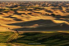 Fields of Gold (kaushikkarene) Tags: palouse steptoebutte washington sunset wheatfields landscapes greenery