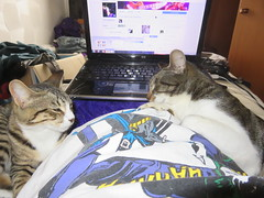 kitten love (the_gonz) Tags: cat cats kitten pets animals cute batman laptop bed