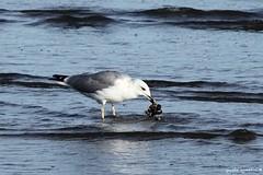 seagull (paolo agostini) Tags: sottomarina chioggia mare sea spiaggia beach gabbiano gaviota seagull explore