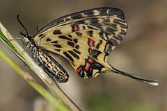 Sericinus montela (f) in copula (mishko2007) Tags: sericinusmontela dragonswallowtail korea 105mmf28