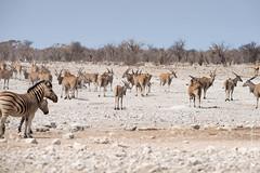 DSC_3676.JPG (manuel.schellenberg) Tags: namibia animal etosha nationalpark eland antelope