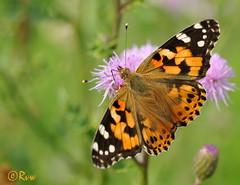 Vanessa cardui (R. Van Wallendael) Tags: papillons butterflies