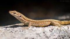 Sunny Delight (Luis-Gaspar) Tags: animal reptil reptile lagartixa lagartixaiberica lizard walllizard iberianwalllizard podarcishispanica portugal oeiras pacodearcos nikon d60 55300 f56 1500 iso200