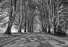 Tree avenue, Wassand Estate, East Yorkshire (cdwpix) Tags: trees road wassand estate hall avenue september autumn east yorkshire hornsea