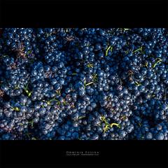Raisins : vendanges en Beaujolais (dominikfoto) Tags: brouilly raisin vendange vignes fusina fusinadominik grape grappe cueillette vendanges beaujolais