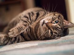 Meow (Vincent F Tsai) Tags: cat kitty fat cute floor paw manual focus metabones speedbooster panasonic lumixgx8