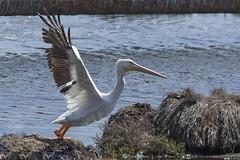 American White Pelican (Pelecanus erythrorhynchus) 5 092216 (evimeyer) Tags: americanwhitepelican pelecanuserythrorhynchos bolsachica wildlifephotography