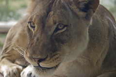 Lion J (larryn2009) Tags: california fall animal female mammal zoo sandiego unitedstatesofamerica lion september 2012 sandiegocounty pantheraleo sandiegosafaripark
