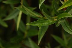 Koromiko. Hebe ... (nznatives) Tags: leaf spring rotorua nz hebe nznative bayofplentynz koromiko ngo2 mtngongotaha