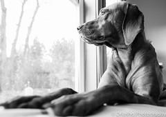The Waiting (DRJoshG) Tags: dog white black angle wide shift vizsla 24mm tilt