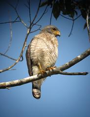 Rupornis magnirostris / Gavilán caminero / Roadside Hawk (felixú) Tags: accipitridae roadsidehawk buteomagnirostris rupornismagnirostris
