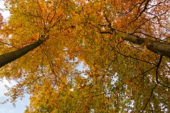 THINGS ARE LOOKING UP! (mark_rutley) Tags: autumn color colour fall leaves hampshire fareham forestofbere