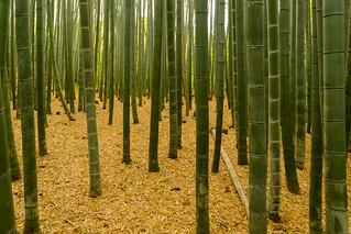 竹 - 嵯峨野 / Bamboo - Sagano