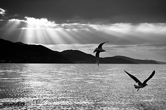 Fly !! (albatros11 (Samir Bzk)) Tags: sunset blackandwhite naturaleza seascape blancoynegro blanco nature landscape noiretblanc pentax wilde wildlife seagull natureza negro natur algrie goeland pentaxkx atsunset    gouraya