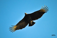 Black Vulture 111112ac (jt893x) Tags: bird nikon sigma vulture blackvulture coragypsatratus bif d800 150500mm