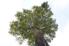 Castanheira (Edson Grandisoli. Natureza e mais...) Tags: tronco rvore copa matogrosso amaznia castanha castanhadopar castanheira emergente dossel regiocentrooeste altafloresta castanhadobrasil