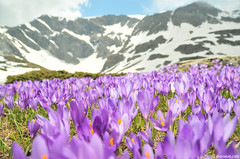 crocus field (.:: Maya ::.) Tags: mountain flower spring purple lakes bulgaria rila seven bloom           crosus   mayaeye mayakarkalicheva