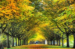 The pathway to your dreams (Shertila Tony) Tags: road autumn trees cambridge england fall leaves golden europe britain path avenue nationaltrust autumnal hdr cambridgeshire lode angleseyabbey 100commentgroup mygearandme mygearandmepremium mygearandmebronze