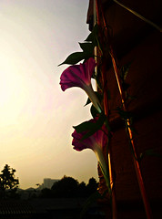 morning glory in a morning (som300) Tags: morning glory motorola zn5 flower plant