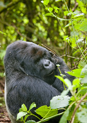 Gorilla in Volcanoes National Park, Rwanda (Eric Lafforgue) Tags: africa park animal forest outdoors gorilla bamboo rwanda vegetation afrika greenery foret primate parc commonwealth bambou afrique eastafrica gorille mountaingorilla oneanimal centralafrica 9480 kinyarwanda ruanda gorillaberingei gorillatrekking afriquecentrale bigape  unanimal gorilledesmontagnes    republicofrwanda   ruandesa