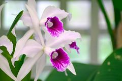 Orquídea (De Santis) Tags: park parque brazil orchid flower detail macro brasil de nikon bokeh sãopaulo flor sigma sp santos 5100 70300mm municipal detalhe orquídea orquidário orquidario orchidpark d5100 fernandodesantis orquidáriomunicipadesantos