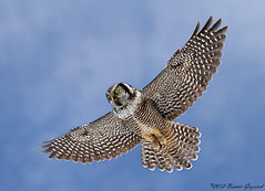 Northern Hawk Owl  9485 (Bonnieg2010) Tags: inflight alberta owl hawkowl northernhawkowl coth specanimal specanimalphotooftheday bonniegrzesiak