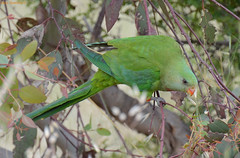 Superb Parrot - Polytelis swainsonii DSC_4049 (Mary Bomford) Tags: green parrot australia canberra leek superbparrot psittaciformes polytelisswainsonii barrabandsparakeet barrabandsparrot psittaculidae