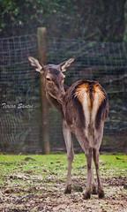 Cervus elaphus (Tessa Santos) Tags: red portugal de deer mafra tapada veado cervus elaphus