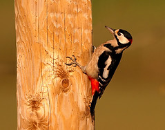 "great spotted woodpecker ("" yer tis my ansome "") Tags: light red nature birds canon woodpecker wildlife tail beak devon exeter telegraphpole dendrocopusmajor westcountry talons greatspottedwoodpecker dendrocoposmajor lserieslenses britishbirds devonwildlife ukbirds avianexcellence canon7d canon300mmf28lisusm sniper01 mygearandme mygearandmepremium mygearandmebronze mygearandmesilver mygearandmegold blinkagain grayclements flickrgrayclements picturestakenwithcanon7d"