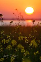 Sunset - Sialkot (Irfan Mirza) Tags: pakistan sunset sunrise canon outdoors photography landscapes photos head irfan mirza sarson sialkot saghir maralla