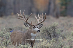 Huge non-typical mule deer buck (Daryl L. Hunter - The Hole Picture) Tags: usa monster spread unitedstates jackson beam trophy wyoming jacksonhole grandtetonnationalpark nontypical droptine muledeerbuck popeandyoung booneandcrocket kickerpoints thirteenpointbuck