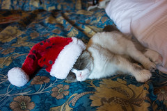 chat grincheux grumpy