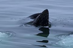 Antarctica_43 (JustinHofman) Tags: feeding antarctica southern crop change whale humpback climatechange climate global globalwarming gulp baleen krill rorqual tubercle